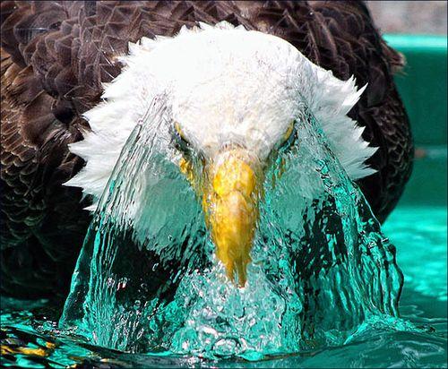 Aigle-eau