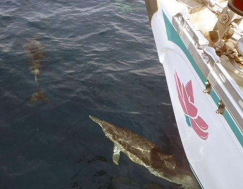 Taveuni-dauphins